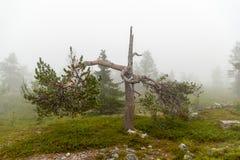 Eenzaam gebroken hout in naaldbos met mist stock foto's