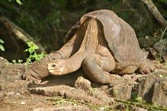 Eenzaam George Galapagos stock foto