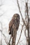 Eenzaam Groot Grey Owl in de winter Stock Foto