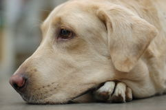 Eenzaam Labrador Royalty-vrije Stock Foto