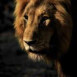 Eenzaam Lion Close Up royalty-vrije stock afbeeldingen