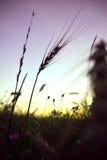 Eenzaam oor bij zonsondergang Royalty-vrije Stock Afbeeldingen