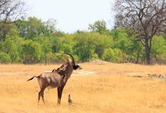 Eenzaam Roan Antelope die zich op de droge dorre savanne in het Nationale Park van Hwange bevinden royalty-vrije stock foto's
