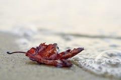 Eenzaam rood de herfstblad op het strand royalty-vrije stock afbeelding
