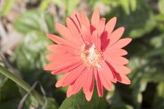 Eenzaam Rood, de Mooie Bloem van Pollenated royalty-vrije stock fotografie