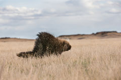 Eenzaam stekelvarken op prairiehorizon stock fotografie