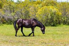 Eenzaam Wild Spaans Mustang in Weide in Corolla, NC stock afbeeldingen