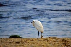 Eenzaam wit vogel gebroken been op zandig strand Stock Afbeeldingen