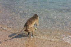 Eenzame aap Royalty-vrije Stock Foto