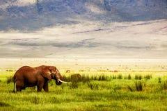 Eenzame Afrikaanse olifant in de Ngorongoro-Krater op de achtergrond van bergen en groen gras Afrikaans reisbeeld Ngorongoro Stock Afbeeldingen