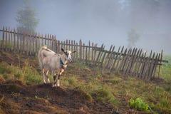 Eenzame alleen geit op het bergweiland royalty-vrije stock foto's