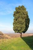 Eenzame altijdgroene boom Royalty-vrije Stock Afbeelding