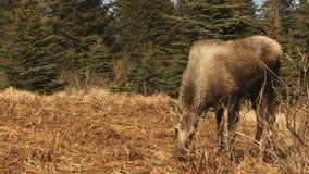 Eenzame Amerikaanse elanden die in weiland weiden stock footage