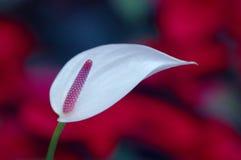 Eenzame Anthurium royalty-vrije stock afbeelding