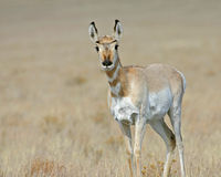 Eenzame antilope Stock Foto
