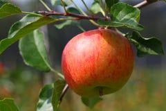 Eenzame appel Royalty-vrije Stock Foto's