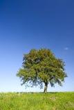 Eenzame appelboom Stock Foto's