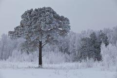 Eenzame berijpte pijnboom 2 Royalty-vrije Stock Fotografie