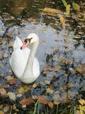 eenzame bevallige zwaan Stock Foto