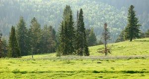 eenzame bevindende pijnbomen royalty-vrije stock afbeelding