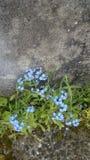 Eenzame blauwe bloemen dicht bij muur stock afbeelding