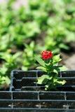 Eenzame bloem. Royalty-vrije Stock Afbeeldingen