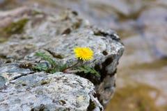 Eenzame bloem op een rots stock afbeelding