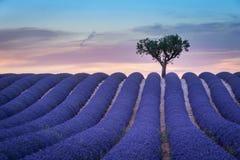 Eenzame bomen bergopwaarts op zonsondergang in de Provence royalty-vrije stock afbeelding