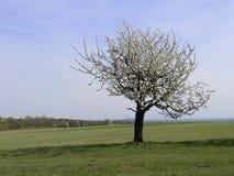 Eenzame boom Stock Foto's