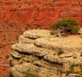 Eenzame boom bij Grote Canion Stock Fotografie