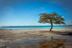 Eenzame boom Bonaire Stock Afbeeldingen