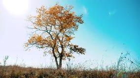 Eenzame boom in de herfst tegen een blauwe hemel op een gebied eenzaam mooi de herfstlandschap van de boombeweging Autumn Russia stock videobeelden