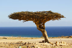 Eenzame boom in de woestijn van Oman Stock Foto's
