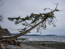 Eenzame boom gevallen over strand Stock Fotografie