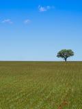 Eenzame boom groen op gebied Stock Foto's