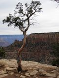 Eenzame boom in het Nationale Park de V.S. van Grand Canyon stock afbeelding
