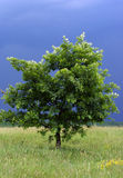 Eenzame boom met een onweer in zijn rug Royalty-vrije Stock Afbeelding