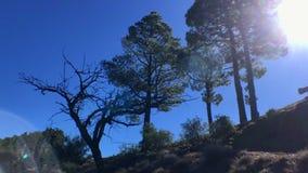 Eenzame boom met pijnbomen stock footage