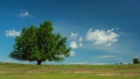 Eenzame boom met wild paarden en bewegende wolken op blauwe hemel stock videobeelden