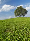 Eenzame boom op de heuvel Royalty-vrije Stock Foto's
