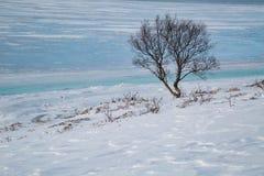 Eenzame boom op de kust van een bevroren fjord in Noorwegen stock afbeelding