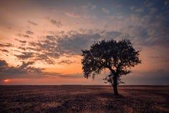Eenzame boom op een droog gebied bij zonsondergang stock afbeeldingen