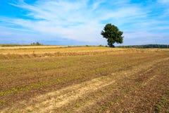 Eenzame boom op een gebied Royalty-vrije Stock Foto