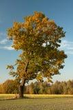 Eenzame boom op een gebied Royalty-vrije Stock Foto's