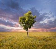 Eenzame boom op een gouden padieveld Royalty-vrije Stock Foto's