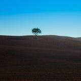 Eenzame boom op een typische donkere grond dichtbij Siena Stock Afbeeldingen