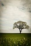 Eenzame boom op gebied Stock Afbeelding