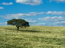 Eenzame boom op gebied Stock Afbeeldingen