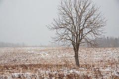 Eenzame boom op gebied in de winter stock afbeeldingen