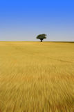 Eenzame boom op graangebied Royalty-vrije Stock Afbeeldingen
